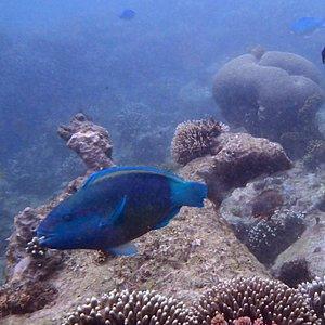 A parrotfish at Kisite.