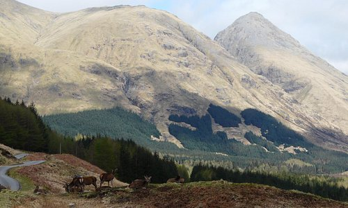 Hinds beside the road, Glen Etive