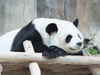 Panda055