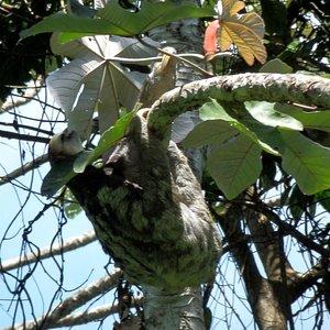 Sloth on Rorota Trail