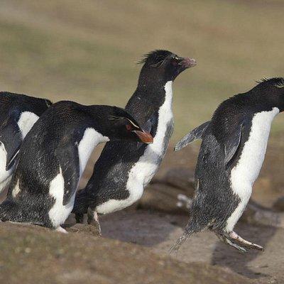 Rockhopper Penguins on the penguin highway.