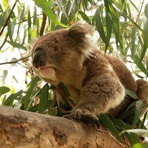 Koalas, Great Ocean Road tour