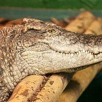 Crocodiles of the World is the UK's only crocodile zoo