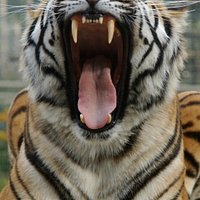 Amba the tiger