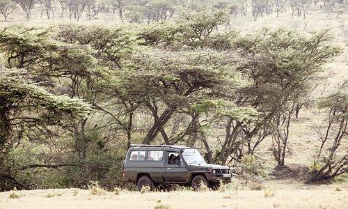 The Mara Naboisho Conservancy - Game drive