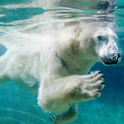 See the majestic polar bears swim underwater