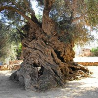 Ancient olive tree of Vouves. Listed on Wikipedia as the oldest olive tree in the world.