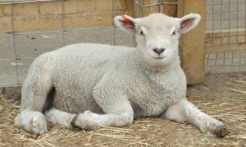 Meet the Lambs