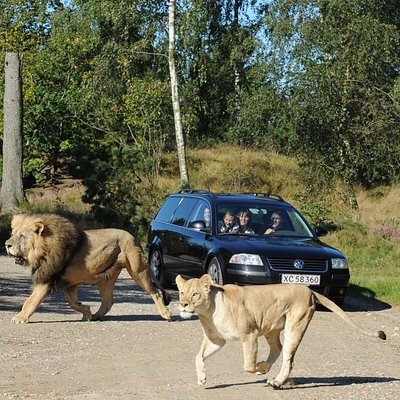 The pride of lions in GIVSKUD ZOO is Denmark's biggest, so you are always sure to see lots of th
