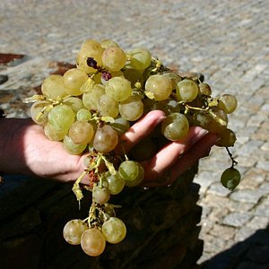 Freshly harvested grapes