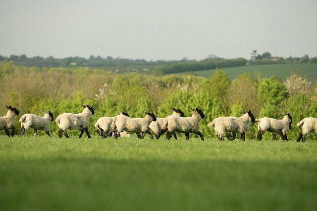 Lambs in fields bordering village