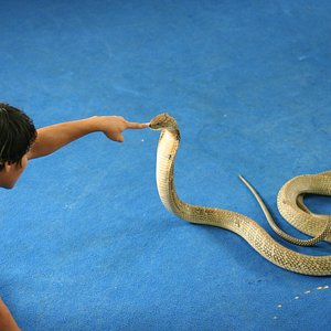 Touching the nose of a King Cobra