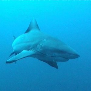 Large Zambezi, (bull shark) following the group
