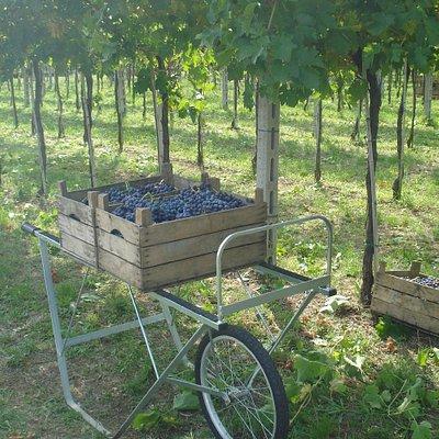 La vendemmia | The harvest