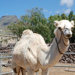 Una de nuestras dos camellas blancas, Takamat. / One of our two white camels, Takamat.