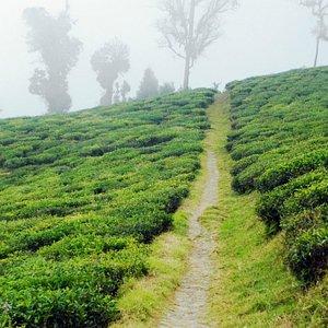 The way in-between the Tea Plants