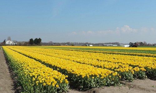 Tulpenveld tussen Voorhout en Lisse