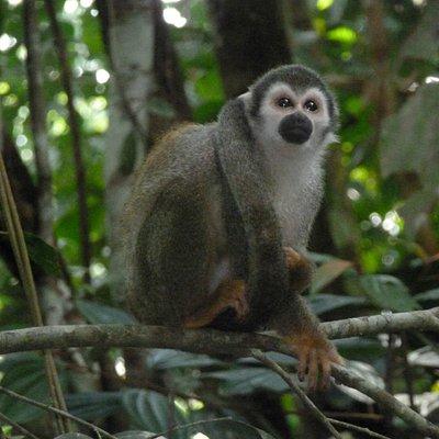 Visiting wild squirrel monkey