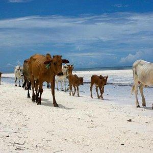 Zanzibar, East Coast - Cows on the Beach