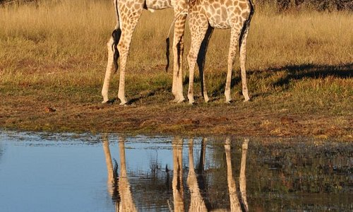 Giraffes by the watering hole