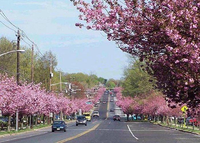 Cherry Blossoms on Chapel Avenue -Cherry Hill, NJ