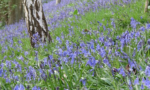Bluebells in the woods at Emmetts Garden May 2013