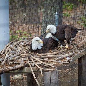 Bald eagles at the EcoTarium
