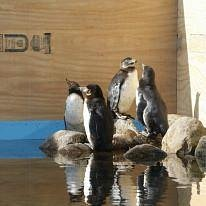 Penguins in Guldborgsund Zoo