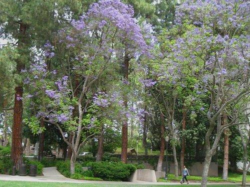 Jacaranda Trees in full bloom - May 2013