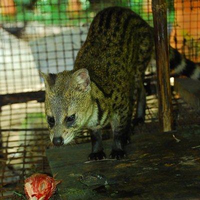 Indian civet-cat