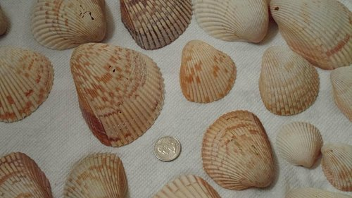 great big cockle shells! Yeah!!