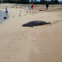 Monk Seal on Baby Beach