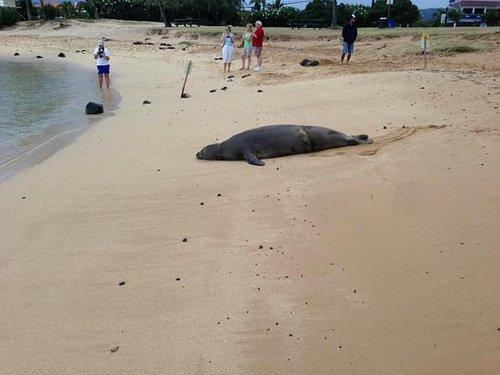 Monk Seal on Baby Beach