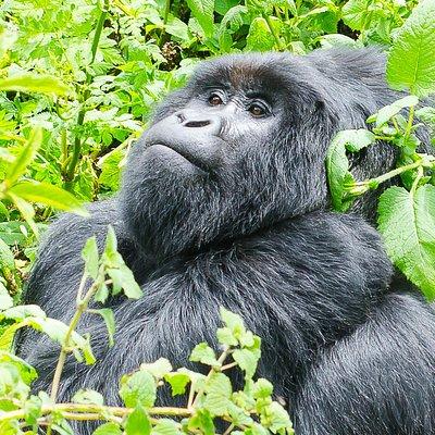 Silver Back of Nyakagezi Gorilla Group