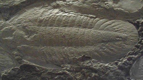 Otro trilobite