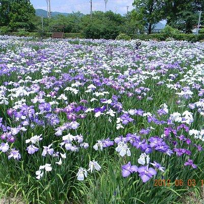 大和中央公園花しょうぶ園