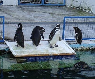 Pinguim as crianças adoram