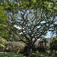 Spectacular trees in Waimea Falls