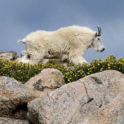 Mount Evans - Mountain Goat