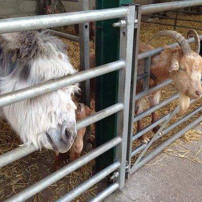 donkeys and goats