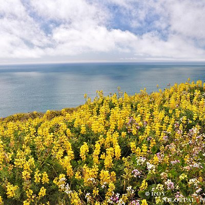 Wildflowers at Tomales point trail