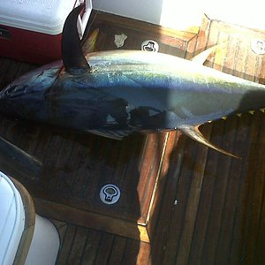 one of our nice yellowfin tunas for the day