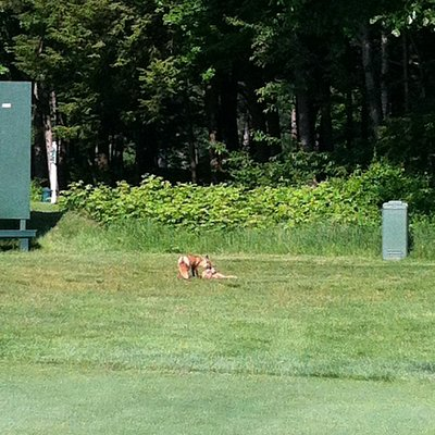 And the course is so safe even the Foxes bring their kids to play.