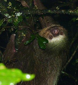 Two-toed Sloth / Perezoso de dos dedos