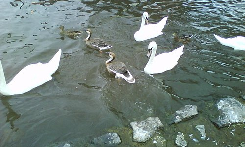 Swans & Geese at The Quay