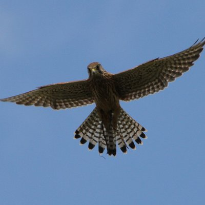 Harvey, European Kestrel hovering