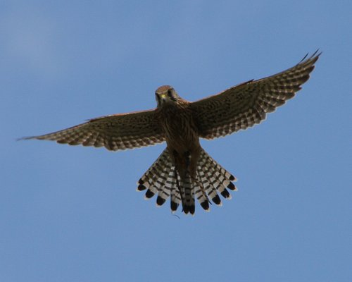 Harvey, European Kestrel hovering