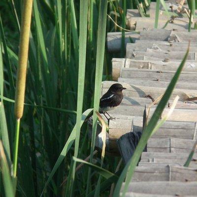 pied bushchat at Okhla Bird Sanctuary