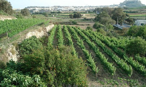 More vineyards at  Ta' Mena Estate