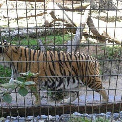 tigre, lindo desfilando!